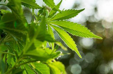 Marijuana While You're Sick